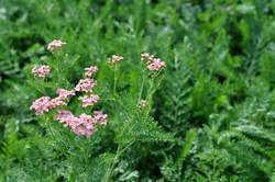 ACHILLEA m. Apple Blossom