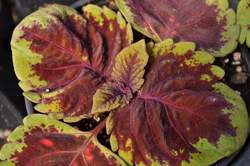 COLEUS Kong™ Red