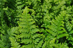 FERN, Parsley