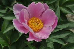 PAEONIA Soft Salmon Joy