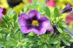 CALIBRACHOA Super. Grape Punch PP23231