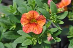 CALIBRACHOA Super. Tequila Sunrise Improved PP23229