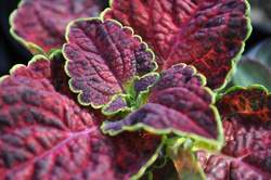 COLEUS ColorBlaze® Dipt in Wine