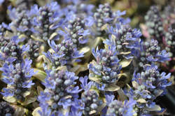AJUGA Dixie Chip PP20890
