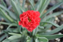 DIANTHUS Early Bird™ Chili PP24363