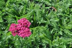 ACHILLEA m. Sed. Saucy Seduction PP20782