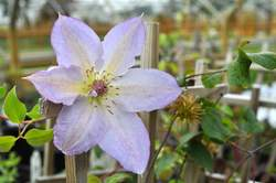 CLEMATIS Tracy Lee