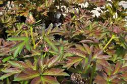 PAEONIA ITOH, Canary Brilliants