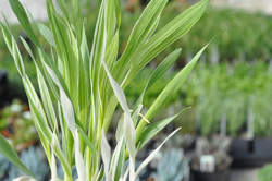 CAT GRASS, Variegated