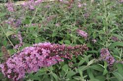 BUDDLEIA d. Pink Delight