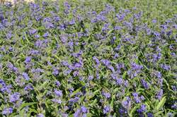 CARYOPTERIS x cl. Longwood Blue