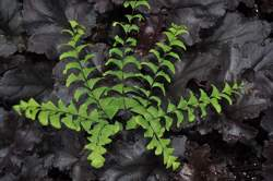 FERN, Maidenhair