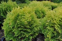 THUJA o. Anna's Magic Ball® PP25868