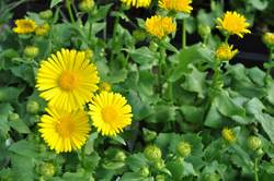 DORONICUM o. Little Leo