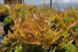 FERN, Brilliance™ Autumn