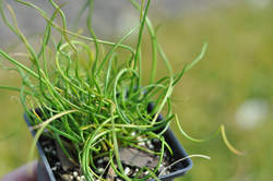 Grass-JUNCUS e. Twister